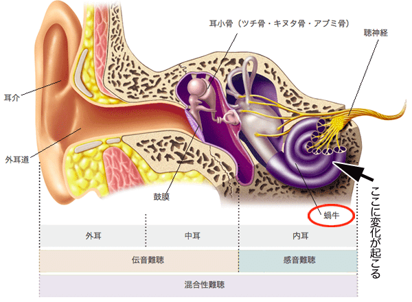 ear-structure-low