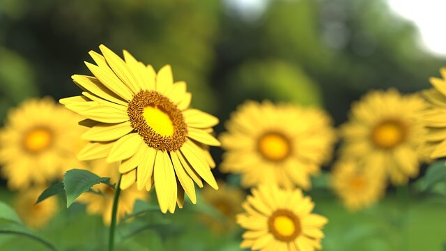 sunflower-1421011_640