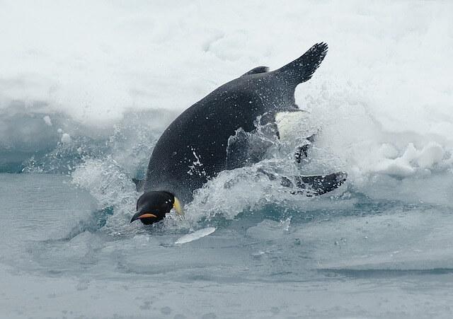 emperor-penguin-62982_640