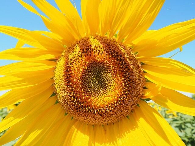 sun-flower-1521852_640