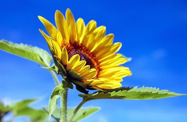 sun-flower-1536088_640